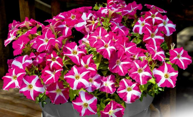 Petunia x hybrida trailing f1 success pink star photo benary