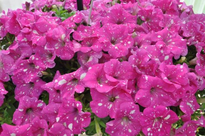Petunia zowie pink sky