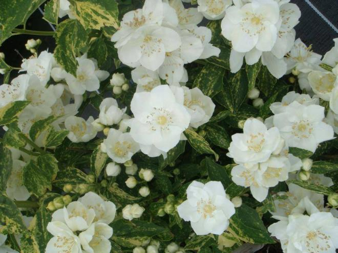 Philadelphus noble innocence2 jpg
