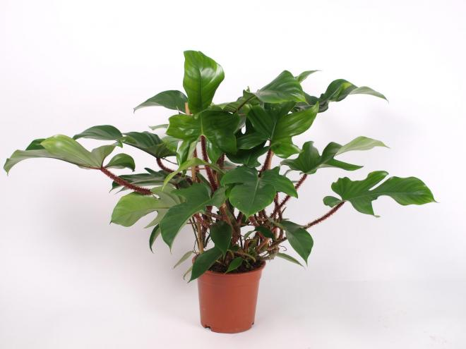Philodendron squamiferum photo royal floraholland