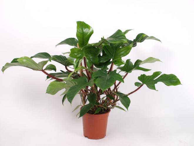 Philodendron squamiferum photo royal floraholland