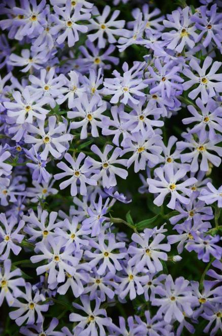 Phlox bifida top notch
