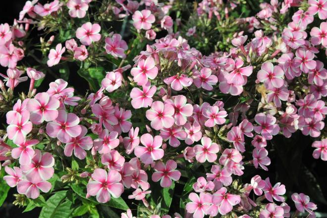 Phlox paniculata early pink candy