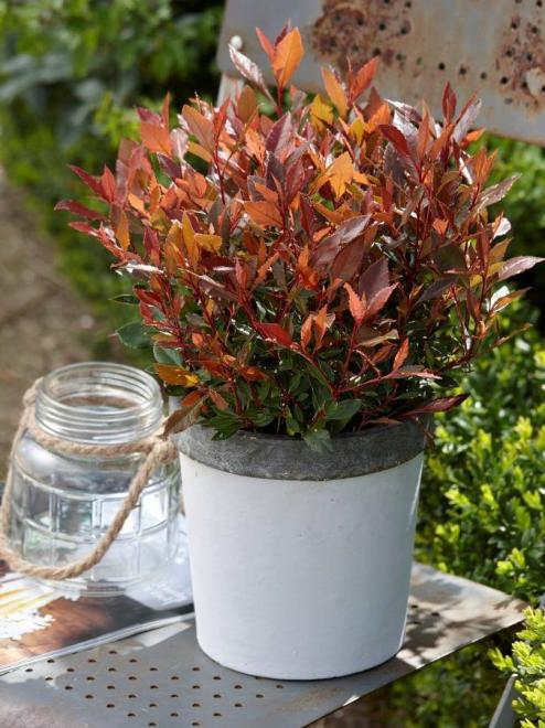 Photinia x fraseri chico