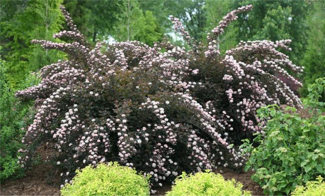 Physocarpus opulifolius petite plum 2