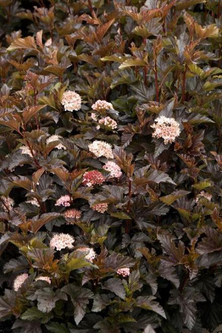 Physocarpus opulifolius petite plum