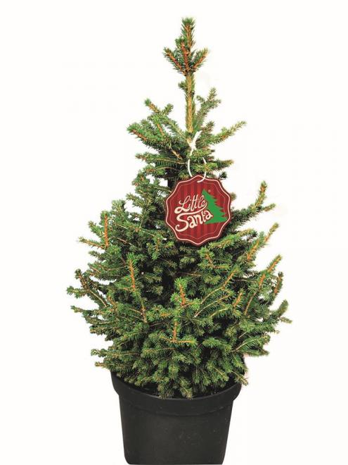 Picea abies little santa