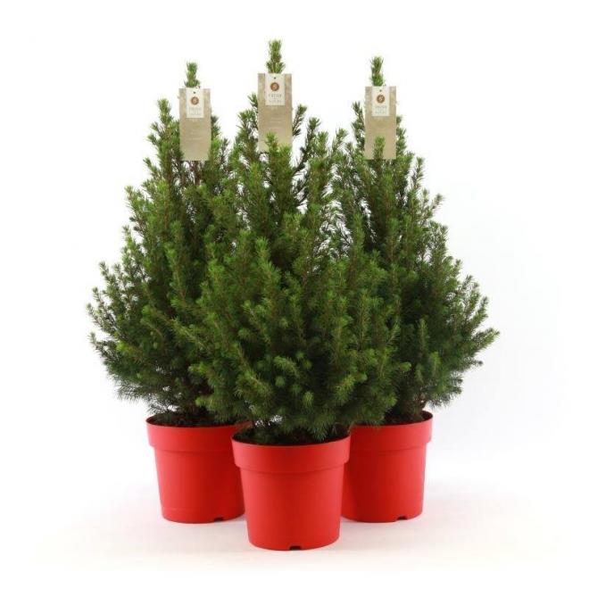 Picea glauca december scholcon