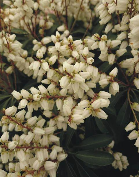 Pieris japonica white pearl