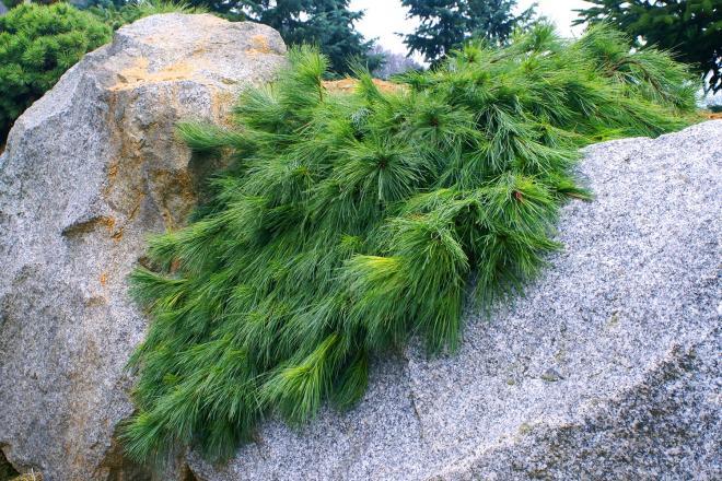 Pinus strobus niagara falls photo kohouts baumschule und gartencenter