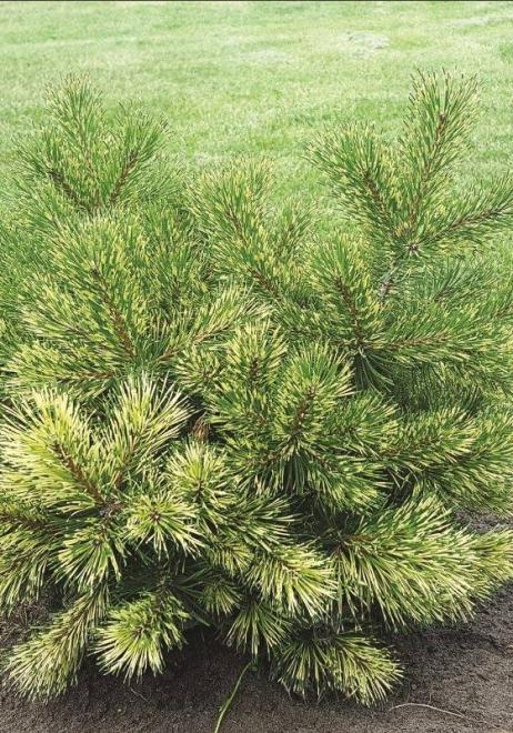 Pinus uncinata billabong