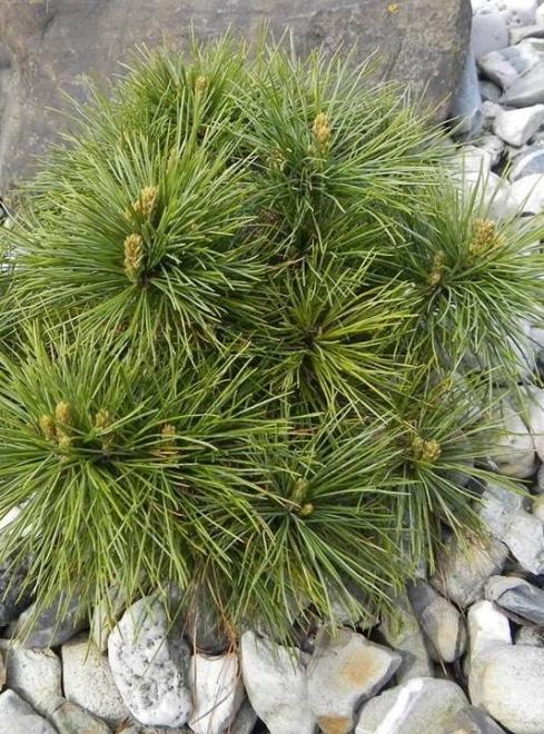 Pinus x schwerinii filips lightning star