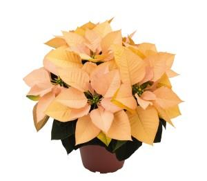 Poinsettia autumn leaves photo dummen orange 300x262