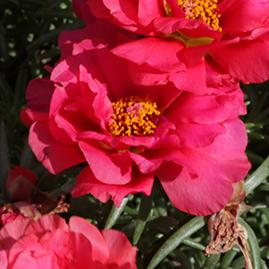 Portulaca lazy daze red