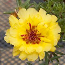 Portulaca lazy daze yellow