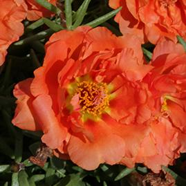 Portulaca sun daze orange