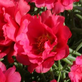 Portulaca sun daze red