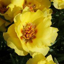 Portulaca sun daze yellow