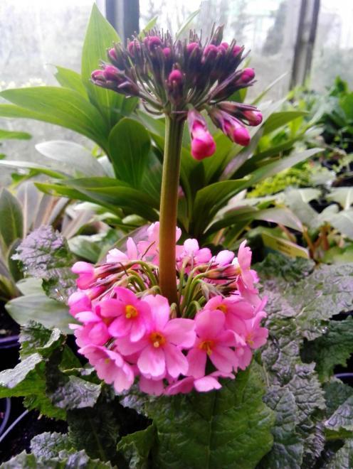 Primula aurantiaca harperley pink photo harperley hall farm nurseries