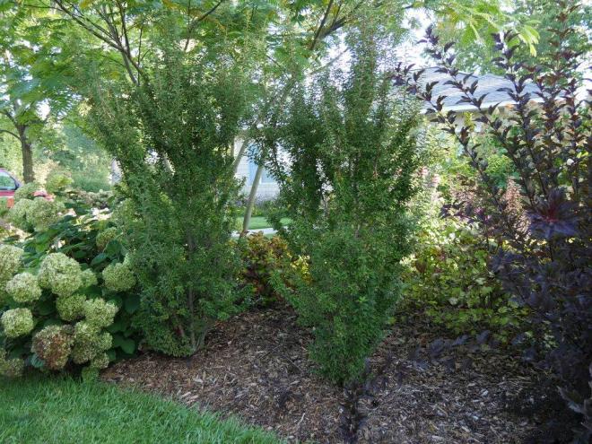 Prunus incisa zuzu 1