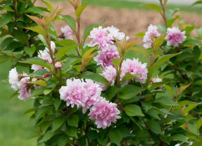 Prunus incisa zuzu