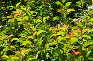 Prunus lusitanica ssp azorica tico ybrazo01 photo sapho 300x199