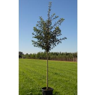 Prunus royal flame mieke batouwe sv