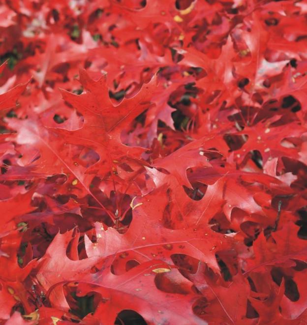 Quercus coccinea kc infraray red 2