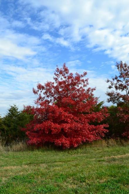 Quercus coccinea kc infraray red