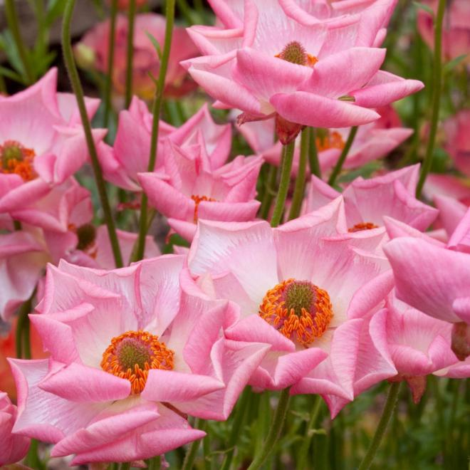 Ranunculus rococo pink photo plants for europe