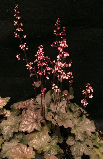 Raspberry chiffon