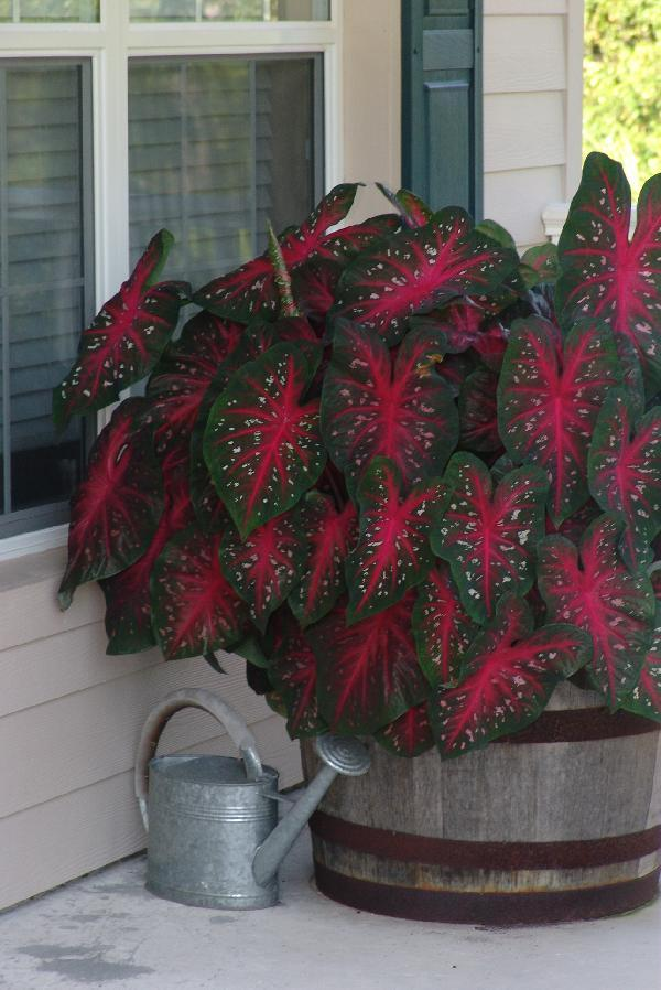 Red flash caladium rain barrell1