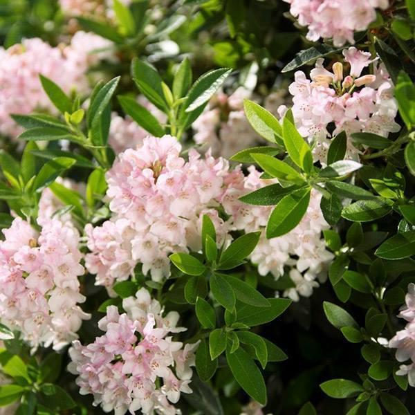 Rhododendron bloombux 3jpg