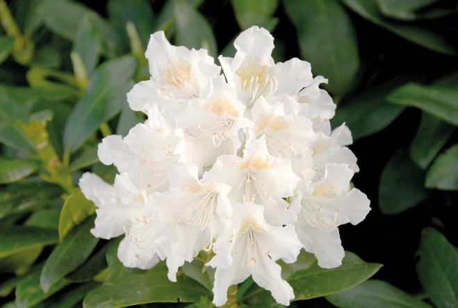 Rhododendron cunningham s snow white