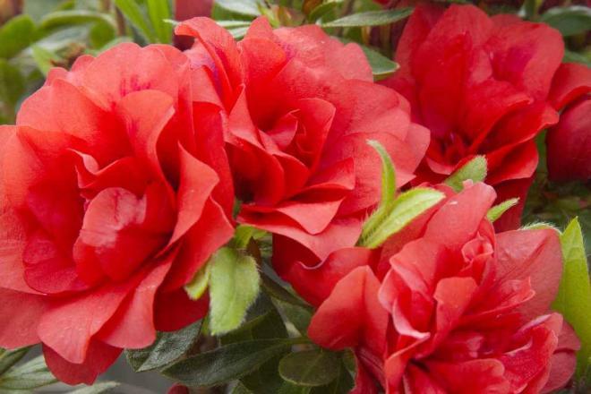 Rhododendron evermore orange 3 jpg