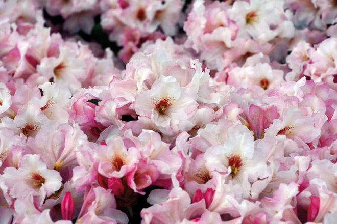 Rhododendron silver copper