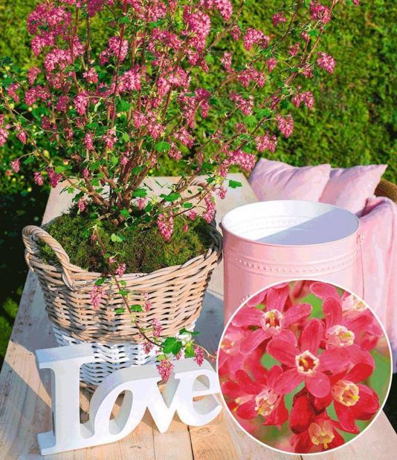 Ribes sanguineum amore 2