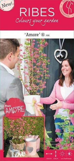 Ribes sanguineum amore
