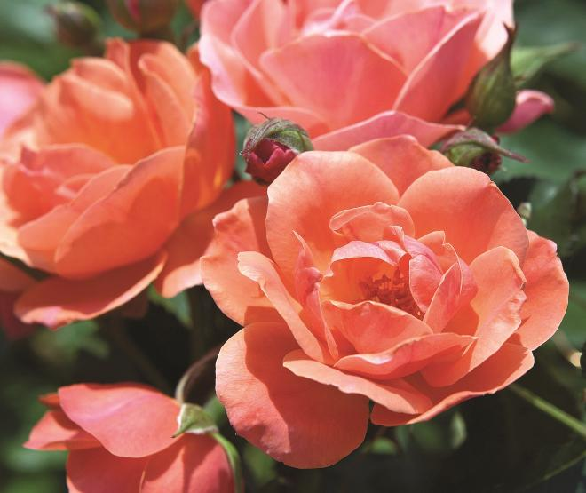 Rosa coral knock out photo star roses and plants1