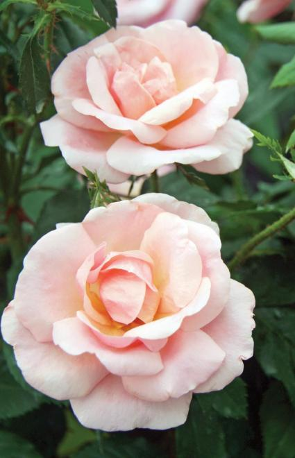Rosa peachy knock out photo star roses and plants1