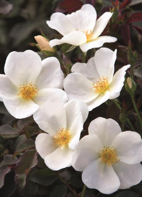 Rosa white knock out photo star roses and plants1