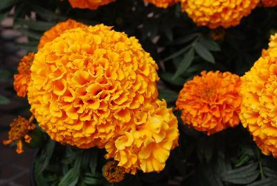 Rose d inde taishan orange impro