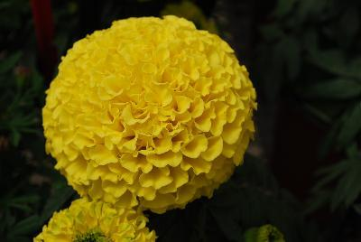 Rose d inde taishan yellow impro