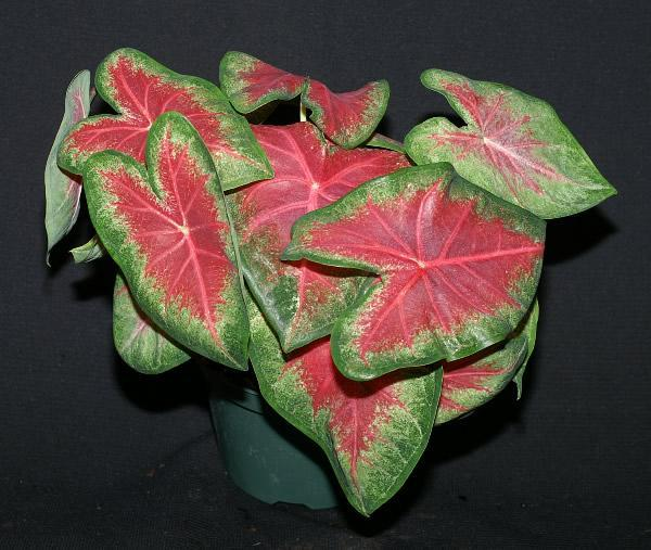 Rose glow de caladiums 1