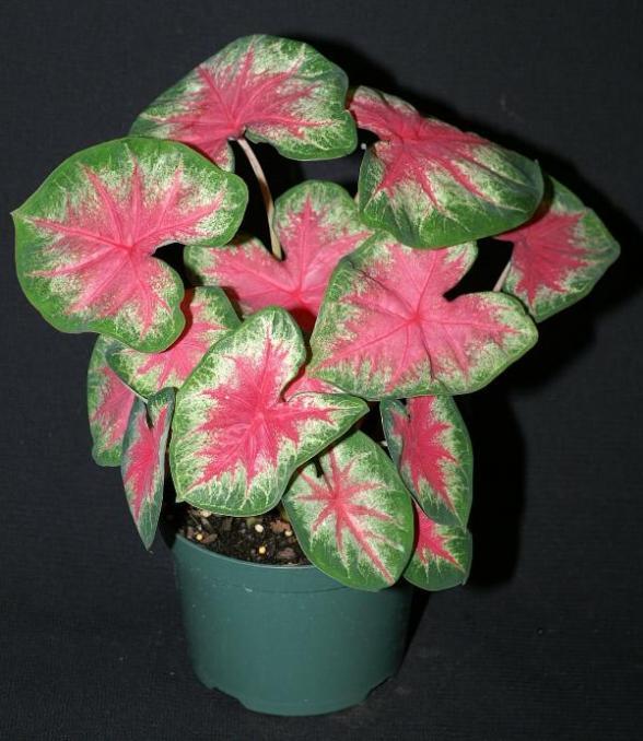 Rosebud caladium 1