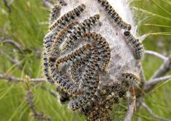 Rtemagicc 8853 thaumetopoea pityocampa larva02 txdam21682 9dd4e4