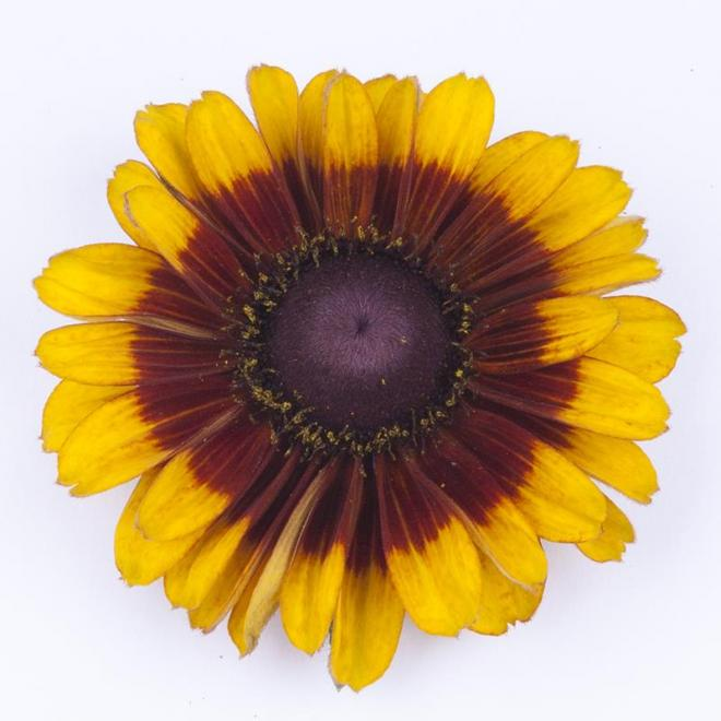 Rudbeckia smiley golden brown