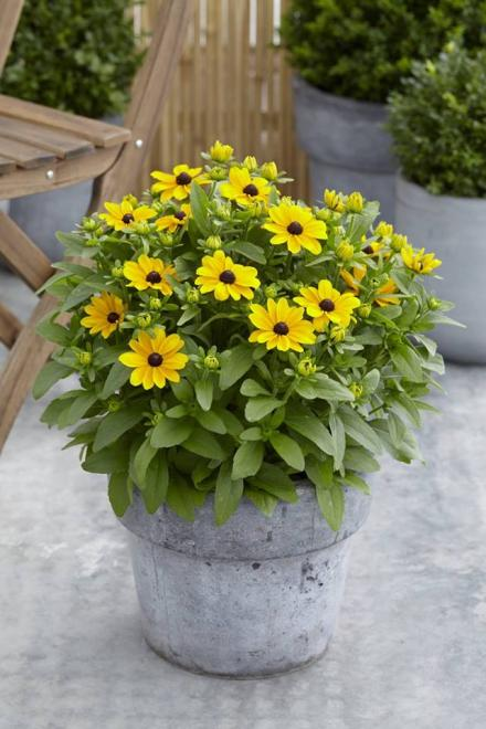 Rudbeckia smiley speedyjpg