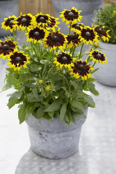 Rudbeckia smiley tiger