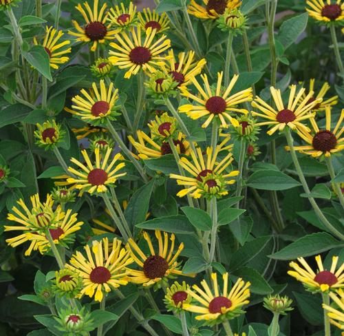 Rudbeckia subtomentosa little henry photo green leaf plants